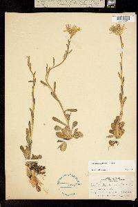 Image of Townsendia formosa