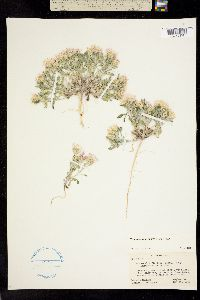 Image of Townsendia florifer