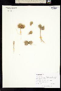 Image of Townsendia minima