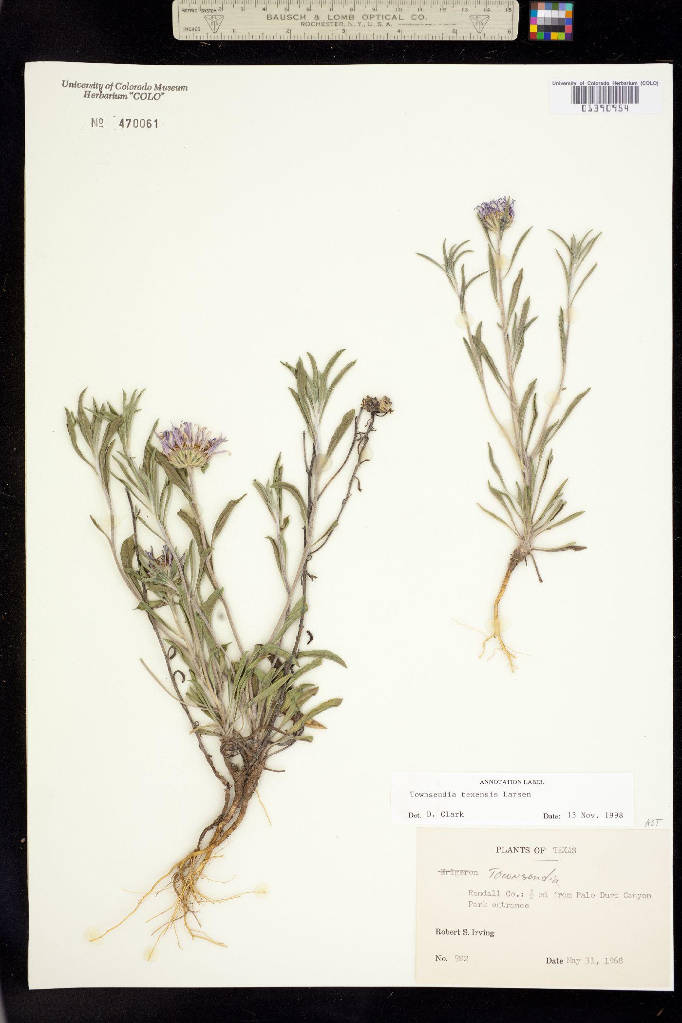 Townsendia texensis image