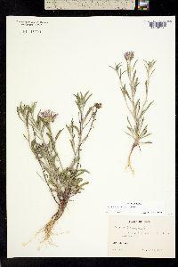 Image of Townsendia texensis
