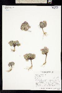 Image of Townsendia spathulata