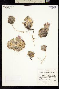 Image of Townsendia condensata