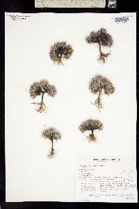 Townsendia spathulata image