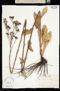 Image of Carphephorus odoratissimus
