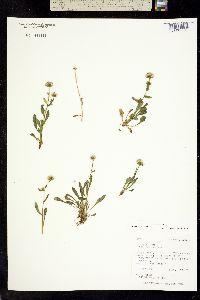 Trimorpha elongata image