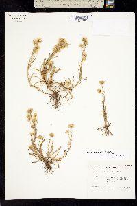 Trimorpha lonchophylla image
