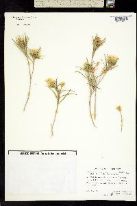 Trixis angustifolia image