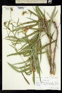 Verbesina longifolia image