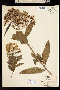 Image of Vernonia deppeana