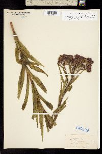Vernonia fasciculata image