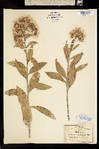 Image of Vernonia paniculata