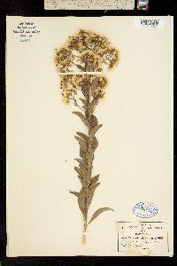Image of Vernonia odoratissima