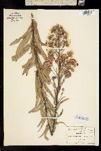 Image of Vernonia serratuloides