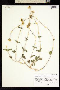 Bahiopsis deltoidea image