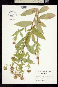 Weberaster modestus image