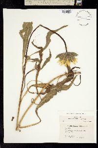 Wyethia angustifolia image