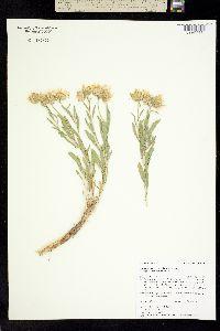 Xylorhiza glabriuscula image