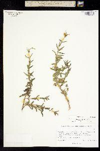 Zinnia angustifolia image
