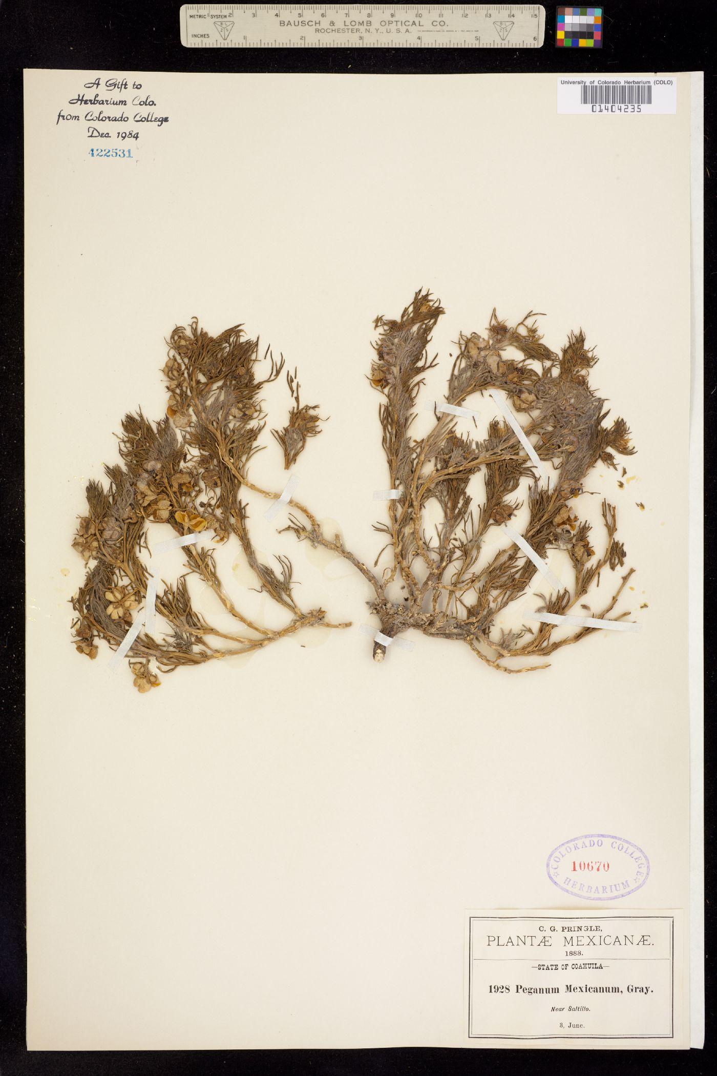 Peganum mexicanum image