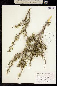 Porlieria angustifolia image