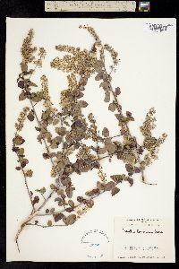 Ceanothus leucodermis image