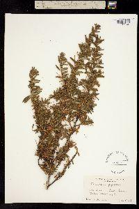 Ceanothus papillosus image