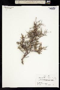 Condalia ericoides image