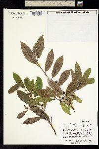 Rhamnus betulaefolia image