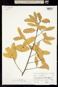 Rhamnus pinetorum image