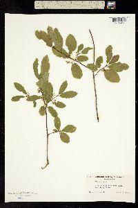 Frangula rubra subsp. rubra image