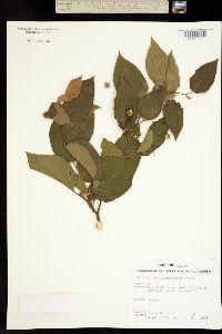 Rhamnus scopulorum image