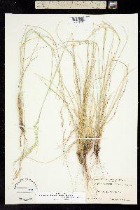Image of Achnatherum x bloomeri