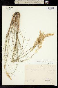 Achnatherum calamagrostis image