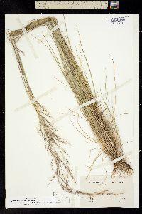 Achnatherum eminens image