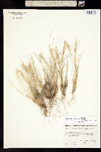 Achnatherum webberi image