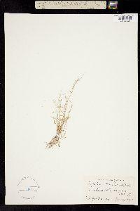 Aegopogon tenellus image