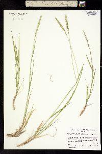 Thinopyrum junceiforme image