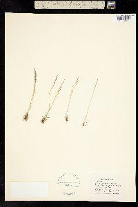 Image of Agrostis elliottiana
