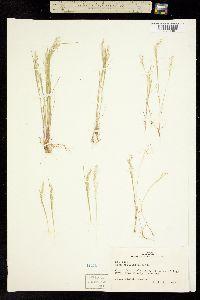 Image of Aira elegantissima