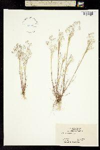 Image of Agrostis caryophyllea