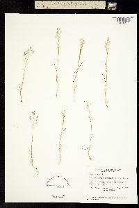 Aira caryophyllea image