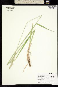 Alopecurus arundinaceus image