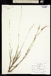 Image of Amphicarpum muhlenbergianum