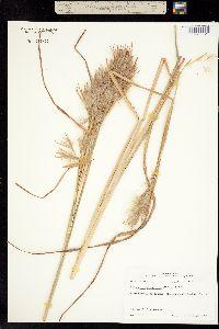 Image of Andropogon glomeratus