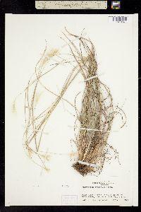 Image of Andropogon ternarius
