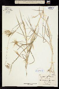 Image of Andropogon condylotrichus