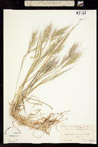Bromus madritensis image
