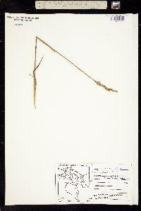 Arctagrostis latifolia image