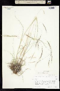 Aristida schiedeana var. orcuttiana image